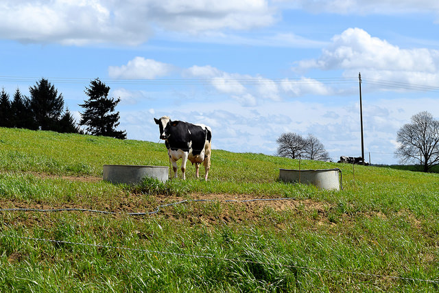 Breton Cow, France   www.rachelphipps.com @rachelphipps