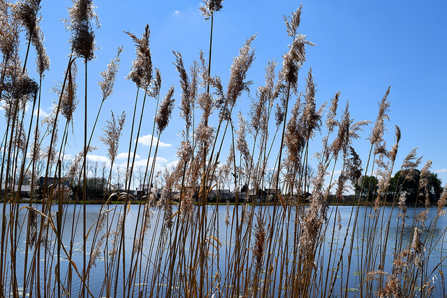 Reeds by the lake in Combourg, Brittany | www.rachelphipps.com @rachelphipps