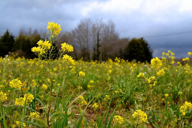Rapeseed Fields in brittany, France   www.rachelphipps.com @rachelphipps