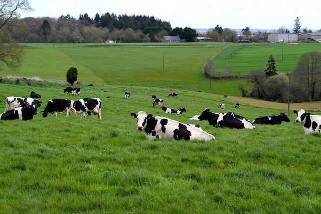 Local Cows in Brittany, France   www.rachelphipps.com @rachelphipps