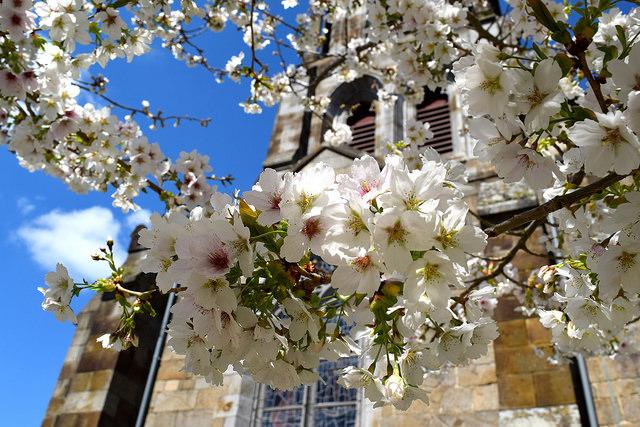 Cherry Blossoms outside Combourg Church, Brittany | www.rachelphipps.com @rachelphipps
