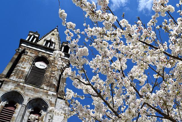 Cherry Blossoms outside Combourg Church | www.rachelphipps.com @rachelphipps