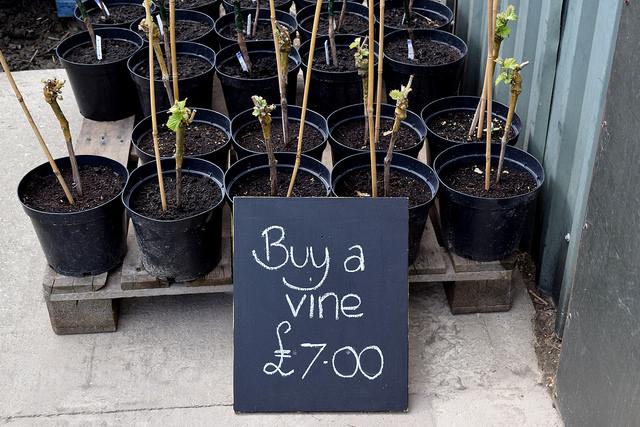 Vines for Sale at Barnsole Vineyard, Staple | www.rachelphipps.com @rachelphipps