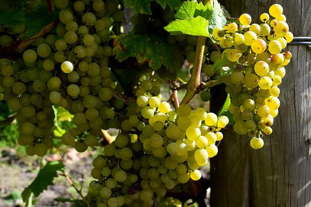 Grapes at Barnsole Vineyard | www.rachelphipps.com @rachelphipps