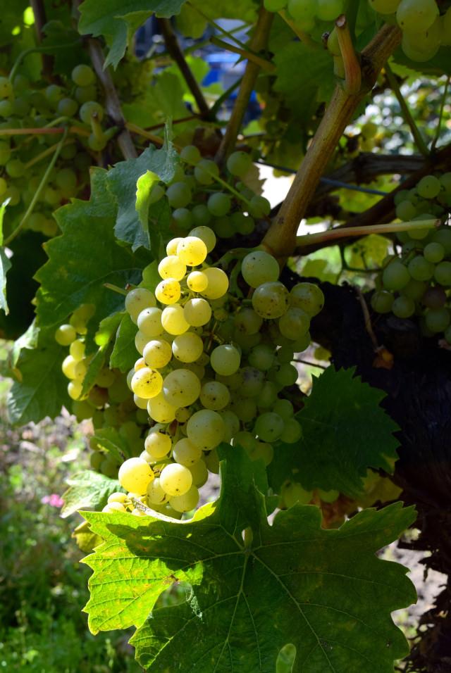 Grapes at Barnsole Vineyard, Staple | www.rachelphipps.com @rachelphipps
