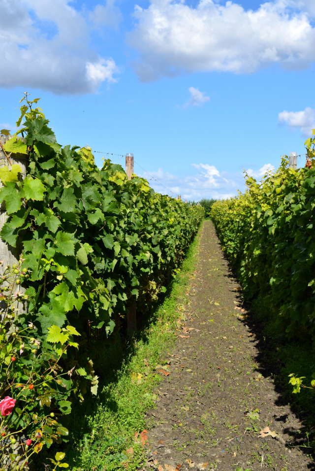 Between The Vines at Barnsole, Staple | www.rachelphipps.com @rachelphipps