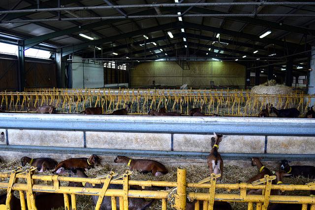 Rocoamadour Cheese Farm | www.rachelphipps.com @rachelphipps