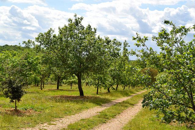 Truffle Trees in the Dordogne Valley | www.rachelphipps.com @rachelphipps