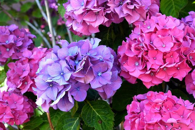 Hydrangea   www.rachelphipps.com @rachelphipps