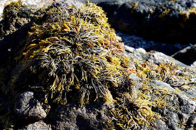 Seaweed Rockpools at St. Malo   www.rachelphipps.com @rachelphipps