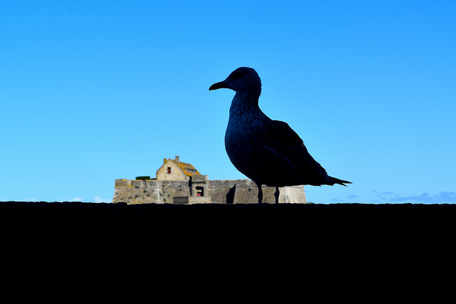 Seagull at St. Malo   www.rachelphipps.com @rachelphipps
