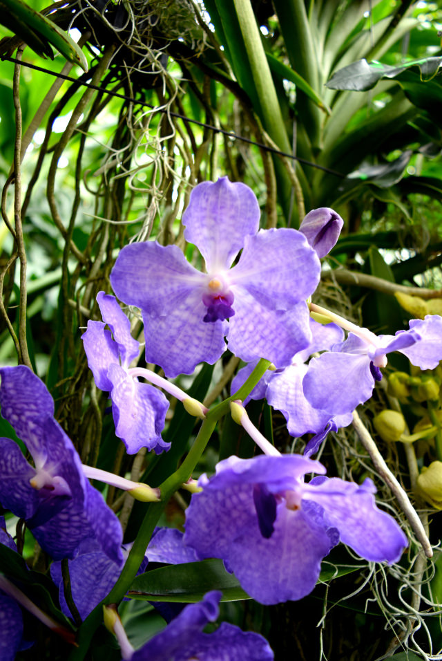 Delicate Purple Orchids at the Kew Gardens Orchid Festival 2018 #orchids #kewgardens #london