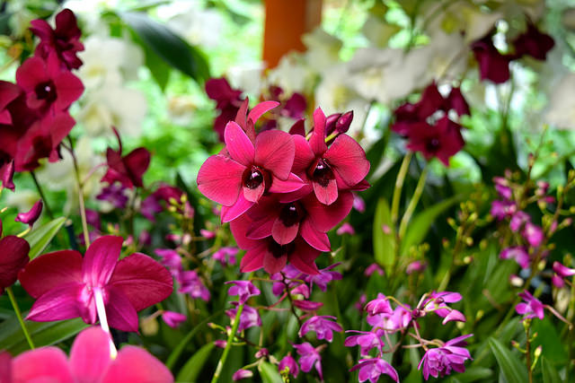 Crimson Pink Orchids at the Kew Gardens Orchid Festival 2018 #orchids #kewgardens #london