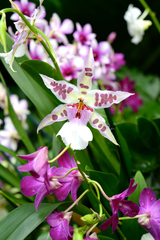 Star Shaped Orchid at the Kew Gardens Orchid Festival 2018 #orchids #kewgardens #london