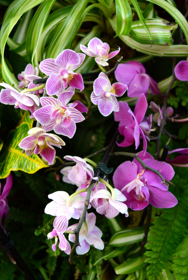 Pink Orchids at the Kew Gardens Orchid Festival 2018 #orchids #kewgardens #london