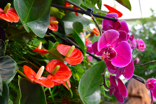 Pink & Orange Orchids at the Kew Gardens Orchid Festival 2018 #orchids #kewgardens #london